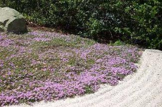 Wengerlawn nursery co products ground covers plant type ground cover height 025 to 025 feet spread 025 to 1 foot bloom time june july bloom color deep pink sun full sun mightylinksfo