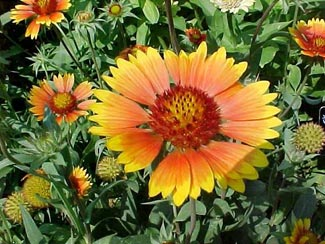Wengerlawn nursery co products grasses common name blanket flower zone 3 to 10 plant type herbaceous perennial height 1 foot spread 1 to 2 feet bloom time june september mightylinksfo